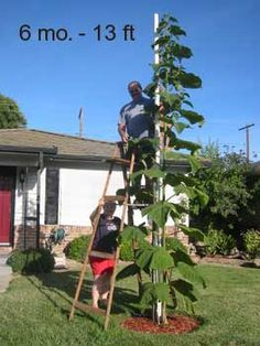 Know the Facts About The Paulownia Tree - Fast Growing Shade Trees
