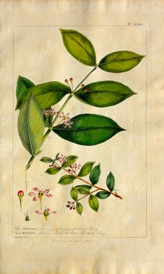 "Barbados Cherry by Miller, 1760. Antique hand colored copper engraving of Malfighia or Barbados Cherry by Phillip Miller from ""Figures of the Most Beautiful, Useful, and Uncommon Plants"", London."