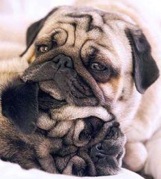Pugs Will Sleep Anywhere!