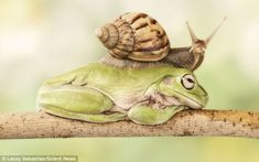 A snail makes its way over the back of a sleeping frog. A snail makes its way over the back of a sleeping frog. Funny Frogs, Cute Frogs, Animals And Pets, Funny Animals, Cute Animals, Photo Animaliere, Frog And Toad, Pictures Of The Week, Tier Fotos