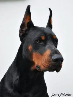 .this is a great looking Dobe--nice heaviness of bone