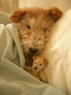 'Little Scruffs' -a Mini replica of a Wire Fox Terrier snuggled by the original model. Chien Fox Terrier, Wirehaired Fox Terrier, Airedale Terrier, Terrier Dogs, Wire Fox Terriers, Smooth Fox Terriers, Terrier Mix, Cute Puppies, Cute Dogs
