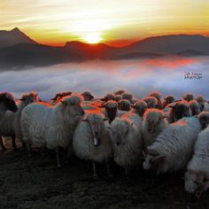 sheep in basque country
