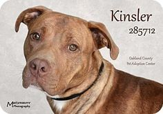"Hello, my name is Kinsler. I hear it all the time, ""wow, are you handsome!"" I have beautiful brown eyes and soft, silky fur. I am a young guy, only 15 months old. I'm a neutered male who weighs 60 lbs. I love playing with other dogs. I have lots of energy. I'm active and will make a good jogging or biking partner. Playtime is my favorite. I like toys and other pups. I know how to have fun. I'm a smart boy too. I know ""sit"" and ""shake."" Check me out and I may be your newest family member."