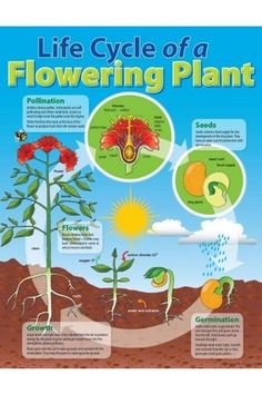 Life Cycle Of A Flowering Plant Chart - Australian Teaching Aids - Laminated Life Cycle of a Flowering Plant educational chart. Teaching Aids, Teaching Science, Science Activities, Science Projects, Science Experiments, Sequencing Activities, Science Ideas, Plant Science, Science And Nature