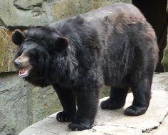 ursos negros - Pesquisa Google