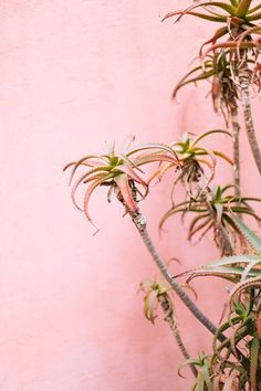 Pastel Pinks in Mexico City // Gorgeous pastel pink buildings, stunning under the Mexican sun, with succulent plants Cabana, Mexican Courtyard, Im A Cool Girl, Hopeless Fountain Kingdom, Walled City, Planting Succulents, Succulent Plants, Pink Walls, Mexico Travel