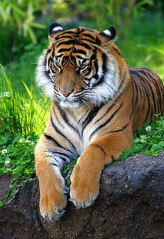 Sumatran Tiger ZO (forum for nature photographers) - Sumatran Tiger ZO (forum for nature photographers) - Tiger Artwork, Tiger Painting, Pet Tiger, Bengal Tiger, Siberian Tiger, Large Animals, Cute Baby Animals, Beautiful Cats, Animals Beautiful