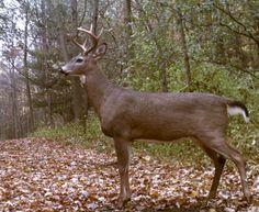 White-tailed Deer (Odocoileus virginianus) | WILD Jaeger
