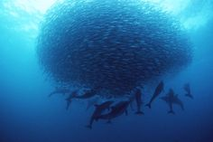 The famous sardine run begins on the east coast of South Africa in June and makes its way up slowly up the coast to Kwa-zulu Natal. Many locals can be seen along the harbours and rocky outcrops enjoying the abundance of seafood available during the run. To experience this incredible natural event, email us: mailto:info@tasafaris.com