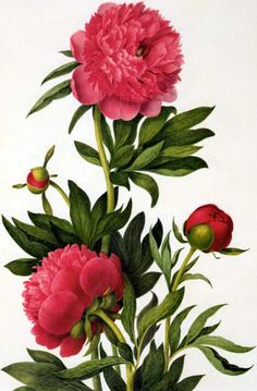 Picturing Plants and Flowers: Clara Maria Pope: Peonies