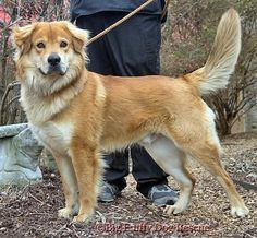 Big beautiful dog, a Goberian (Golden Retriever / Siberian Husky cross), great mix breed!