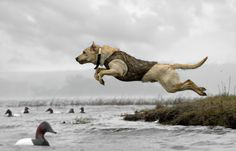 The leap. #Dogs #Hunting #Retriever