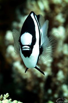 humbug damselfish | marine animal + underwater photography #fish