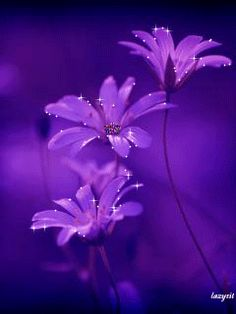 Lady Jam - Violet Sunflowers