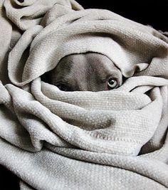 gray dog, blanket ✿⊱╮