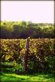 Vineyard owned by Heineman's, Ohio's oldest family owned #winery. Put-in-Bay. Tour their winery and purchase their island made juices and wines.