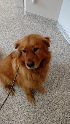 This is Rusty an adult male. He is neutered, current on vaccinations, potty trained, walks well on leash, rides well in a car, knows a few commands, good with dogs. Not kid/cat tested. When he is excited he will jump. Golden Retriever Rescue of Atlanta, GA. - https://www.petfinder.com/petdetail/32168053/