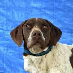 """Visit our internet site for more info on """"pointer pups"""". It is an exceptional place to learn more. Gsp Puppies, Pointer Puppies, Gsp Rescue, German Shorthaired Pointer Black, Puppy Facts, French Dogs, Puppy Classes, German Dogs, Hunting Dogs"""
