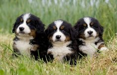 Bernise Mountain Dogs | Cutest Paw