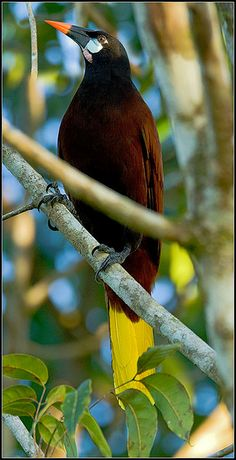 The 'Montezuma Oropendola' is a New World tropical icterid bird. It is a resident breeder in the Caribbean coastal lowlands from southeastern Mexico to central Panama, but is absent from El Salvador and southern Guatemala.