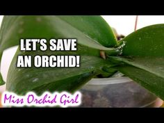 How to save a Phalaenopsis orchid with no (or with few) roots plus cutting the stem - YouTube