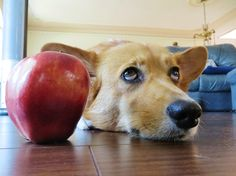 "Corgi thought: ""You can't possibly be serious. Do you actually think that this apple is acceptable as a treat?"""