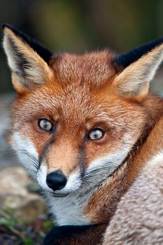 Fox close-up- their eyes are kinda trippy!