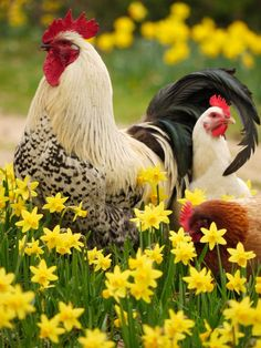 Rooster and Hens in the daffodils. ✮ www.pinterest.com/WhoLoves/ ✮ #animals