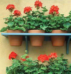 -- Red geraniums