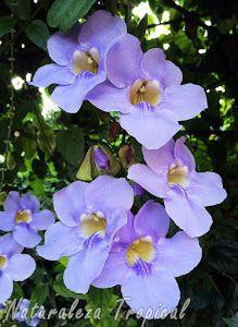 La Trompeta Azul y sus racimos de flores colgantes, Thunbergia grandiflora