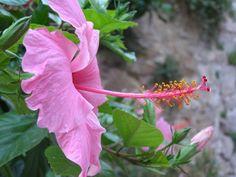 Trompeta en rosa