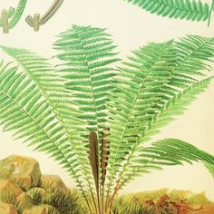 "Ostrich Fern (Matteuccia struthiopteris). #SciArt from James Britten's ""European Ferns"" (1879-81). Contributed for digitization by #HarvardBotany Libraries (@harvard): https://biodiversitylibrary.org/page/49719023 _________________________________________________ #OstrichFern #Ferns #Botany #BHLib #BiodiversityHeritageLibrary #Biodiversity #NaturalHistory #Science #Art #ArtAndScience #Illustration #ScienceArt #Artists #ArtHistory #OpenAccess #OpenData #Libraries #Archives #SpecialCollections…"