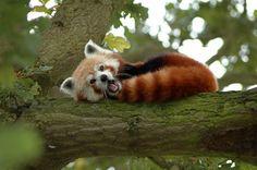 red panda! RED PANDA!!!!