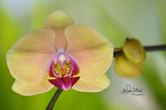 Yellow Orchid Yellow Orchid, Still Photography, Orchids, Plants, Lilies, Planters, Plant, Planting, Orchid