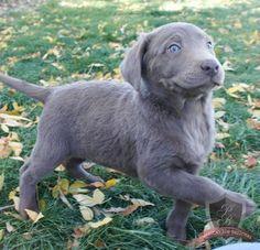 """My nephew Chris' s new silver Lab puppy """" Happy"""""""
