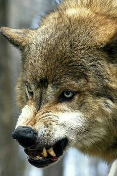 New Tattoo Wolf Angry Nature 43 Ideas Wolf Images, Wolf Photos, Wolf Pictures, Wolf Spirit, Spirit Animal, Snarling Wolf, Angry Wolf, Geometric Wolf, Wolf Face