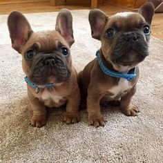 Cute! Bat ear and rose ear Frenchie pups!