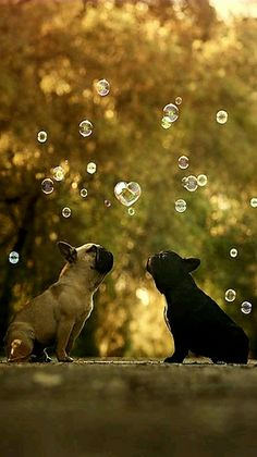French Bulldogs - title Love Is In the Air - photographer Alexandre Marques