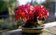 AD-Amazing-Bonsai-Trees-33 Japanese Maple