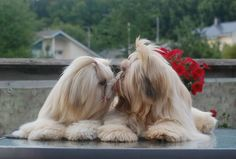"""Explore our internet site for even more information on """"shih tzu dog"""". It is act… Explore our internet site for even more information on """"shih tzu dog"""". It is actually a great place to find out more. Perro Shih Tzu, Shih Tzu Hund, Shih Tzu Puppy, Shitzu Puppies, Cute Puppies, Cute Dogs, Dogs And Puppies, Doggies, Puppys"""