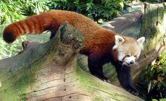 le beau panda roux! et un dernier pour la route!
