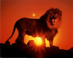 Google Image Result for http://graphicslava.com/wp-content/gallery/lion-pictures/lion_sunset.jpg