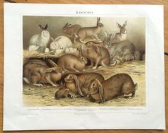 1894 rabbits & hares original antique animal color lithograph print by antiqueprintstore on Etsy