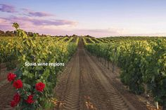 Spain has the biggest vineyard surface in the world. The numerous vineyards and wineries among the varied landscapes provide the visitor with spectacular sightseeing.