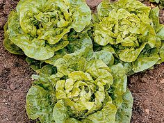 Lettuce 'Tom Thumb'  A gardeners' favorite, this compact, green, butterhead lettuce rapidly forms dense, sweet-tasting hearts.  Ideal for small gardens and can be planted at high densities and is ready to harvest quickly.   Sow: Early spring to midsummer Harvest: Late spring to early fall Soil Preference: Well-drained soil, moist soil Sun or Shade: Full sun, partial or dappled shade