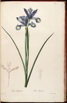 Iris xiphium - Les liliacées / par P.J. Redouté.  Volume 6 of 8