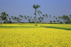 Beautiful Bangladesh: Mustard field in Jessore and the date trees, from whose juice the special 'Patali Gur' is produced (Photo by Noor Ahmed Gelal — National Geographic 'Your Shot') Dates Tree, Mangrove Forest, Life Goes On, Nature Images, National Geographic Photos, Landscape Photos, Asia Travel, Amazing Photography, Beautiful Places