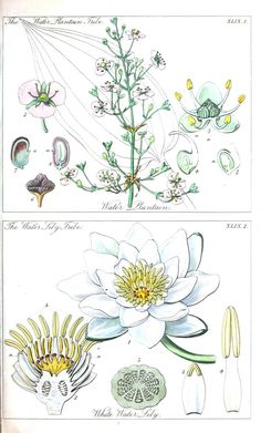 Ladies botany - Water lilly