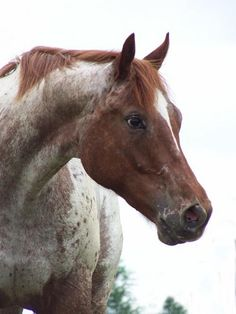 Whata face! Horse, hest, spotted, beautiful, animal, cute, nuttet, gorgeous, photo.